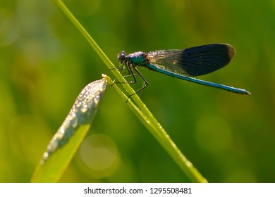 Banded demoiselle in the morning with dew