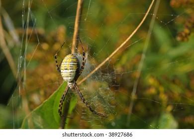 Banded Garden Spider - Argiope trifasciata