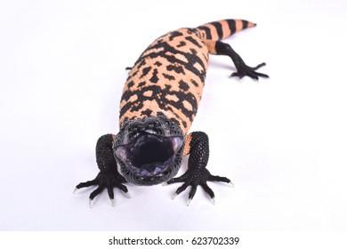 Banded gila monster, Heloderma suspectum cinctum