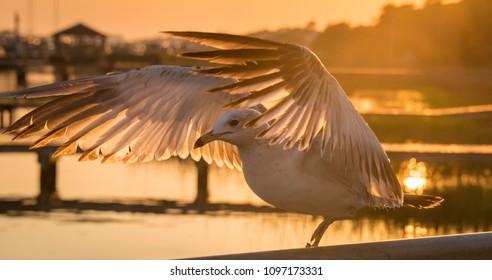 Banded Gull at sunset, Taylor creek, Beaufort, North Carolina