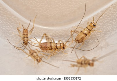 Banded house crickets,  Gryllodes sigillatus, that are used as pet food for reptiles, birds, amphibians, and insectivorous arthropods