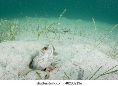 The banded jawfish, Opistognathus macrognathus, yawns while maintaining his burrow off Man Island, Eleuthera, Bahamas.