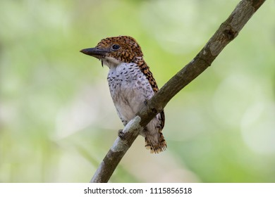 Banded Kingfisher: a female fledgling found in a national park in Thailand is a special welcome treat. It is very cute and fluffy, with black bands on its golden brown colour.