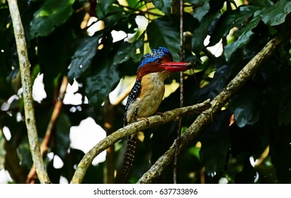 Banded Kingfisher Lacedo pulchella (Horsfield)