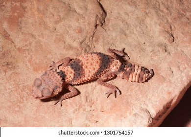 banded knob-tailed gecko, Nephrurus wheeleri an AUstralian gecko on red rock, photographed in a private  collection