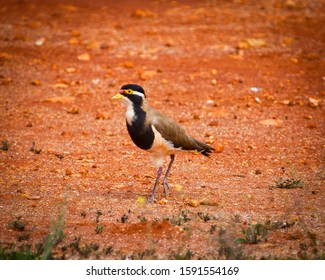 Banded Lapwing. Black-breasted plover. Tiny tricolor bird on orange dirt background in Western Australia.