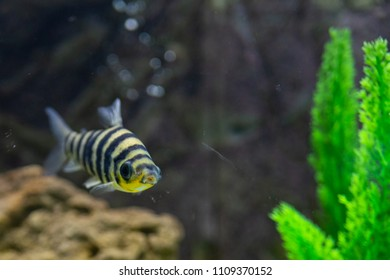 A banded Leporinus against a background of bogwood and plants