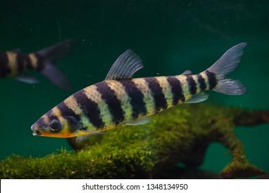 Banded leporinus (Leporinus fasciatus), also known as the black-banded leporinus.
