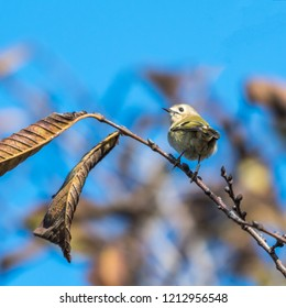 Banded little Goldcrest on a twig with leaves at fall season