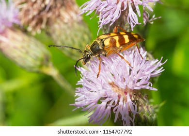 Banded Longhorn Beetle collecting nectar from a purple Thistle flower. Taylor Creek Park, Toronto, Ontario, Canada.