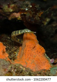 Banded messmate pipefish (Corythoichthys sp.)