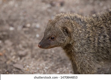 Banded mongoose, a mongoose commonly found in the central and eastern parts of Africa