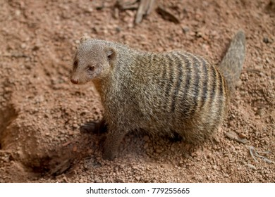 Banded Mongoose, left side, standing in rocky sand