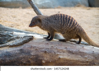 The banded mongoose (Mungos mungo) is a mongoose commonly found in the central and eastern parts of Africa.