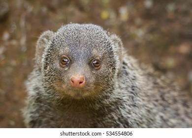 Banded mongoose (Mungos mungo) detail portrait face