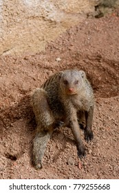 Banded Mongoose Sitting in rocky sand