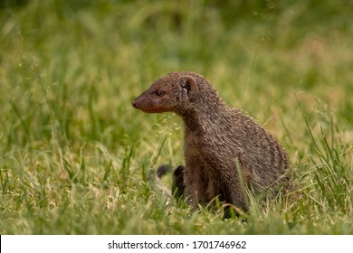 Banded mongoose in the wild