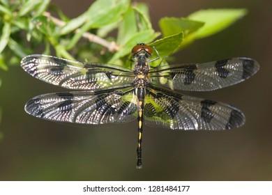 Banded Pennant (Celithemis fasciata) female, Stephen A. Forbes State Park, Marion, Illinois, USA.