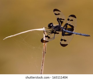 Banded Pennant Dragonfly (Celithemis fasciata) perched on woody vegetation in the Sabinal River in Bandera County, Texas