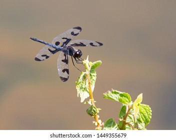 A banded pennant dragonfly perched on a green plant in bright sunlight.