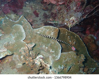 Banded pipe fish in Rabaul , Scuba Diving in PNG