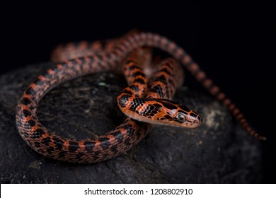 The Banded red snake (Lycodon rufozonatum ) is found across a large part of East Asia, from the Korean Peninsula in the north to northern Laos, Vietnam and China.