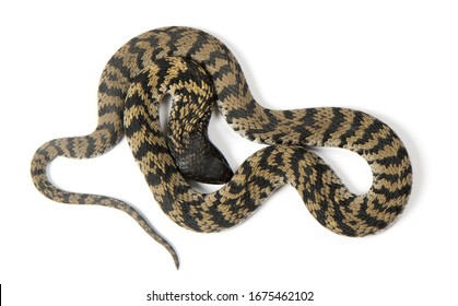Banded ringhals spitting cobra dorsal view