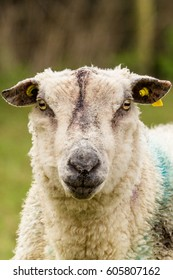 Banded sheep looking at camera in field in Ireland