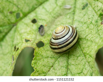 Banded snail on a maple leaf.