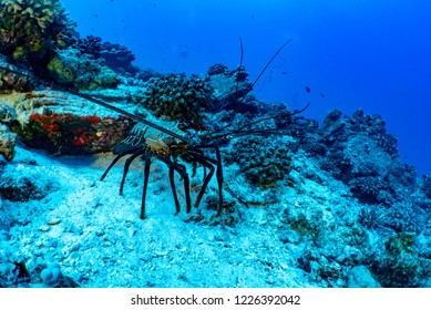 A banded spiny lobster, Panulirus marginatus, sits on a rocky reef in clear blue tropical water.  Divers can be seen in the background.