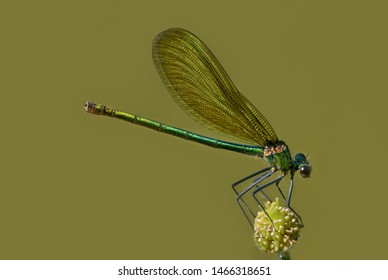 banded splendor dragonfly in closeup