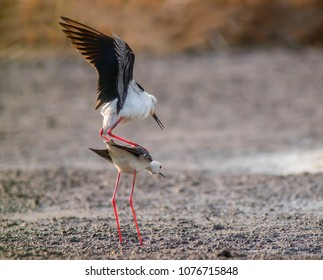 Banded stilts play together in the countryside of east Thailand