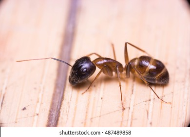 Banded Sugar Ant (Camponotus consobrinus) crawling and wondering on the floor