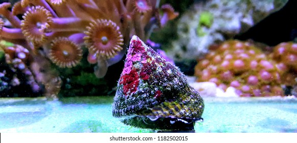 Banded Trochus Snail - (Trochus sp.)