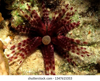 Banded Urchin (Echinotrix calamaris) Taking in Red Sea, Egypt.