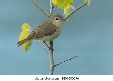 A banded Warbling Vireo is perched on a sapling.Ashbridges Bay Park, Toronto, Ontario, Canada.