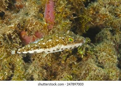 Bandtail Puffer (Sphoeroides spengleri) on a Coral Reef - Roatan, Honduras
