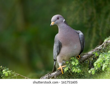 A band-tailed pigeon perches on a hemlock branch and surveys the ground below