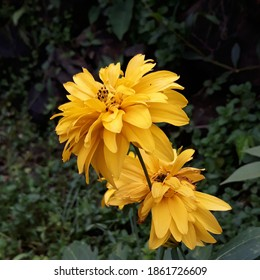 BANDUNG, INA - CIRCA 2017 - A yellow flower blooms at garden in the morning.
