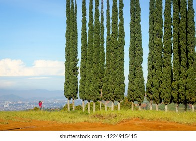 Bandung, Indonesia - 9th March 2015: Mediterranean cypress, Italian cypress, Tuscan cypress, Persian cypress, Pencil Pine