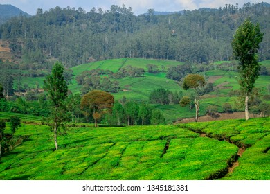 Bandung - Indonesia, October 14 2018: landscape of tea plantations in Gambung, Ciwidey, Bandung Regency, Indonesia. The Gambung Tea and Quinine Research Center (PPTK) is the largest in Southeast Asia.