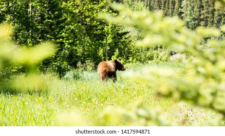 Banff/Alberta/Canada - Jun 17 2018: A Brown Bear in the vicinity Minnewanka Scenic Dr Rod in Canmore