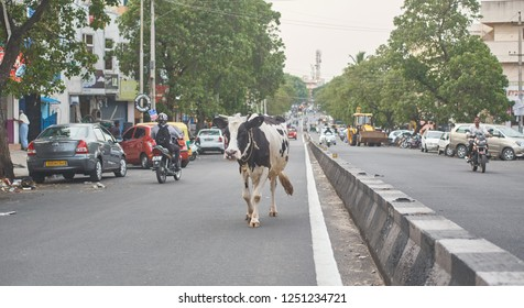 Bangalore, Karnataka / India - May 21 2018: An ordinary sight in India, a cow walking, mid-day, on a road in central downtown city.