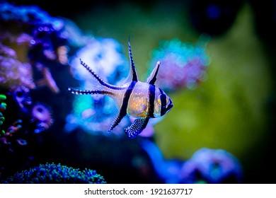 Banggai cardinalfish (Pterapogon kauderni) isolated in a reef aquarium with blurred background