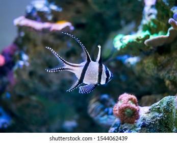 Banggai cardinalfish (Pterapogon kauderni) in a reef aquarium