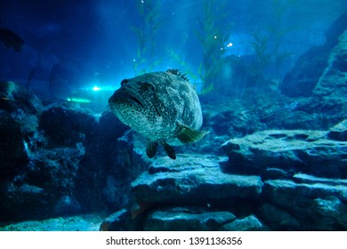 Bangkok / Thailand - 12 09 2018: A sea grouper in front of rock formation and seaweed in background, inside aquarium, Sea Life Bangkok,  Thailand.