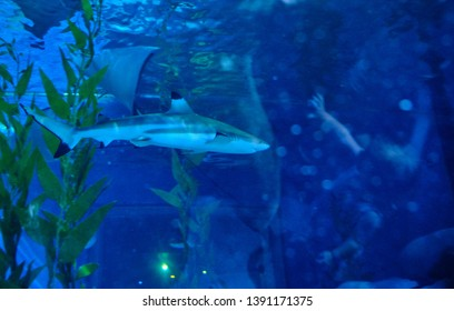 Bangkok / Thailand - 12 09 2018: A rare Blacktip reef shark and stingray swimming is in aquarium tank with tourists reflection on the tank glass at Sea Life Bangkok,  Thailand.