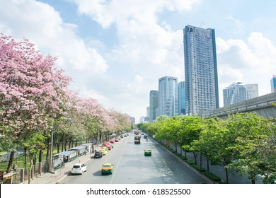 Bangkok, Thailand - April 8,2017: Tabebuia rosea trees or Pink trumpet trees A beautiful pink flowering tree in the garden. Chatuchak Park in Bangkok