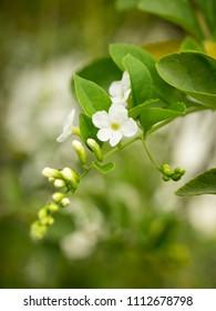 Bangkok, Thailand - Aug 6, 2014 : Flower Duranta in the garden (Duranta repens L,Duranta erecta L) - Shutterstock ID 1112678798