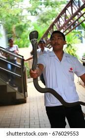 Bangkok Thailand, August 2013. Stuntman playing with cobra at The Thai Red Cross Society, Bangkok Thailand